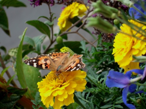 Butterflies-on-my-balcony_3 -- Photo by Not quite like Beethoven, all rights reserved